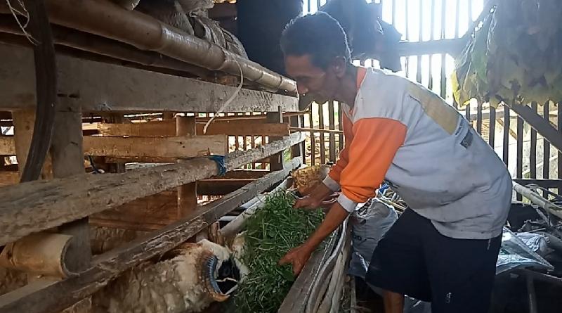 Jelang Iduladha, Harga Domba Mulai Melonjak