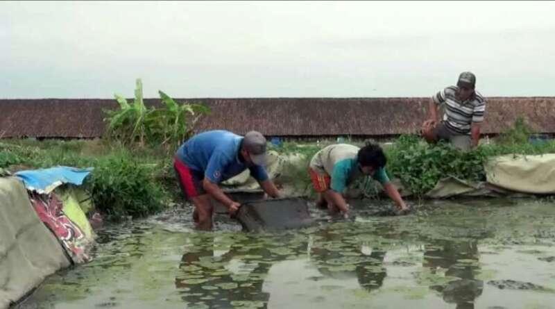 PELUANG: Budi Daya Cacing Sutera di Tengah Pandemi